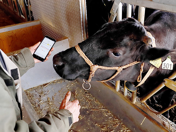 CowTalk device put on a calf